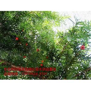 优质红豆杉苗木供应基地~优质红豆杉苗木批发价格~东北红豆杉苗