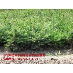 优质红松苗木供应基地~优质红松苗木批发价格~辽宁红松苗价格