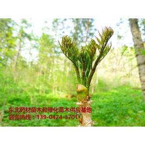 刺嫩芽苗出售批发价格~刺嫩芽树苗供应基地~东北刺嫩芽苗出售