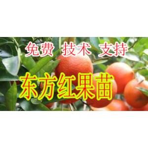 昭通哪里有柑橘新品种东方红苗批发