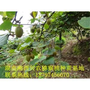 湘西猕猴桃苗培育基地 湖南猕猴桃苗种植基地