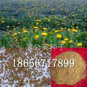 蒲公英种子/蒲公英种子价格/蒲公英种子批发/种植蒲公英效益