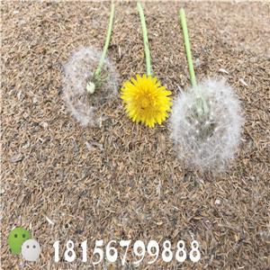 安徽蒲公英种子基地 蒲公英育苗种植技术