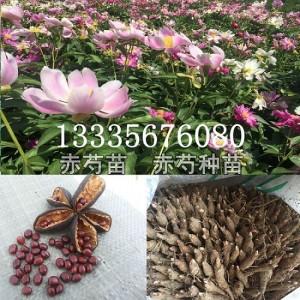 安徽赤芍种子育苗基地 安徽赤芍种子育苗基地