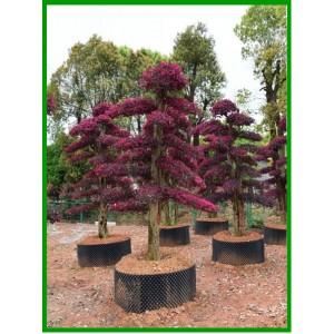 盆景 古桩 造型树