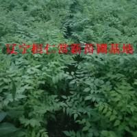 刺嫩芽小苗、刺嫩芽基地、桓仁刺嫩芽、辽宁刺嫩芽