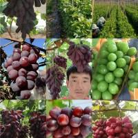 葡萄新品种