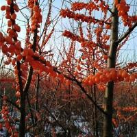 沙棘挂果树