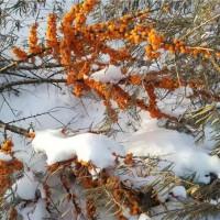 冬季沙棘挂果树