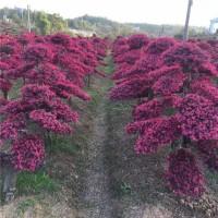 造型红继木