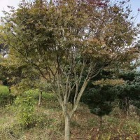 红枫树供应基地