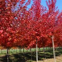美国红枫秋火焰四年苗