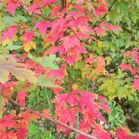 美国红枫秋火焰六年生苗