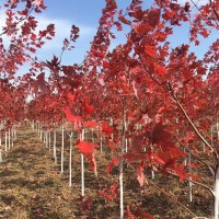 美国红枫秋火焰三年苗