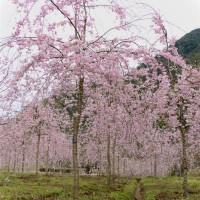 垂枝樱花-八重红枝垂