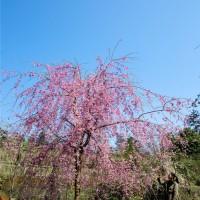 12公分八重红枝垂开花