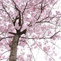 八重红枝垂开花密度