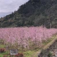 垂枝樱花基地实景