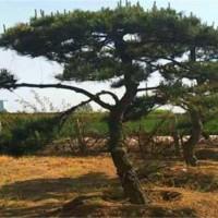 造型黑松树