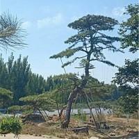 大型古松树