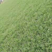 细叶麦冬草基地