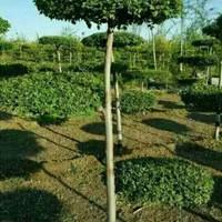 白榆造型树