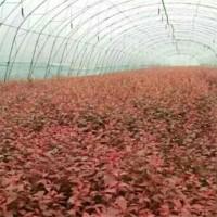 红叶榆叶梅-杯苗