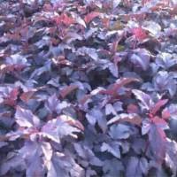紫叶枫箱果-小苗