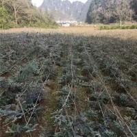 山豆根种植基地