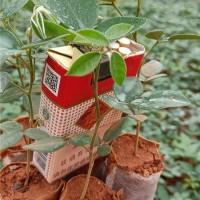 山豆根营养杯苗